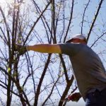 Pruning Crabapple Tree
